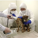 After screening, dogs are cared for until they recover their health.
